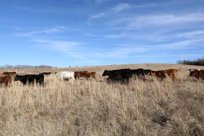 Horstmann Cattle Co. Brings Regenerative Farming to St. Louis Metro Area