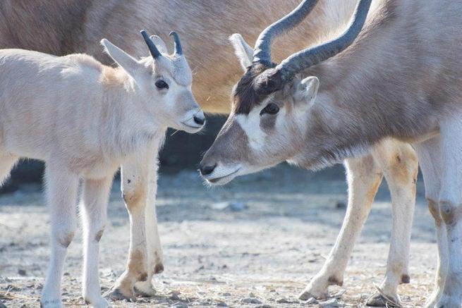 Addax Calf at Saint Louis Zoo