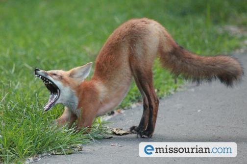Fox Stretches