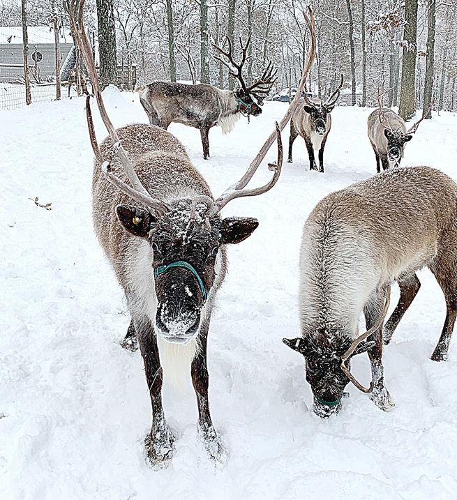 Robertsville Reindeer Play in Snow