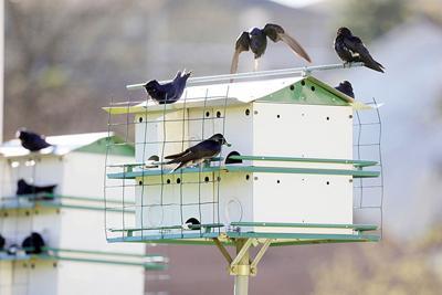 Purple Martins Flock to Craig Haddox's Backyard in Washington