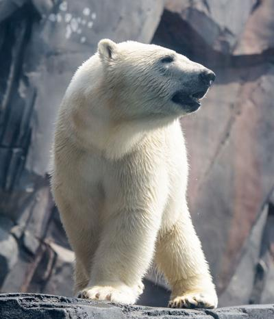Polar Bear, St. Louis Zoo