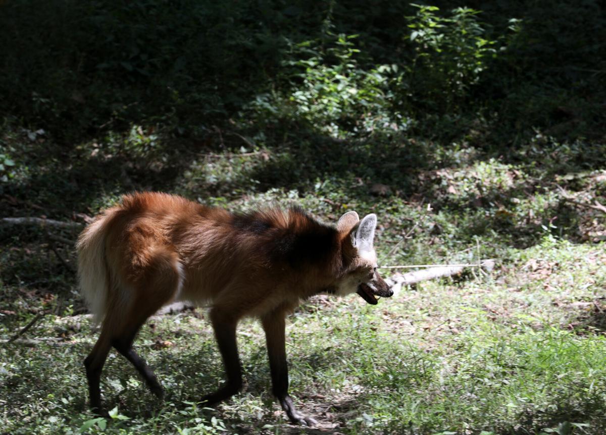 A maned wolf walks