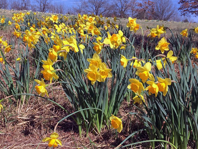 Daffodils at Shaw Nature Reserve