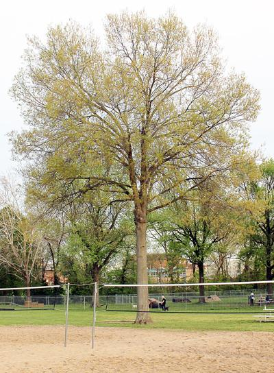 Tree near sand volleyball courts