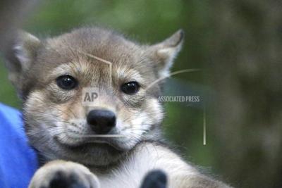 Wolf Pup Gloria