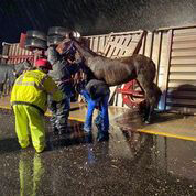 A horse being tended to after a tractor-trailer accident