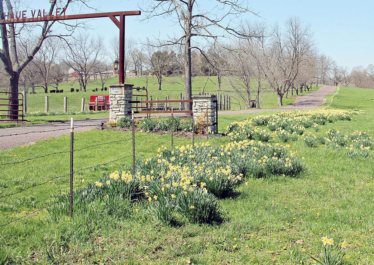 pacific daffodils