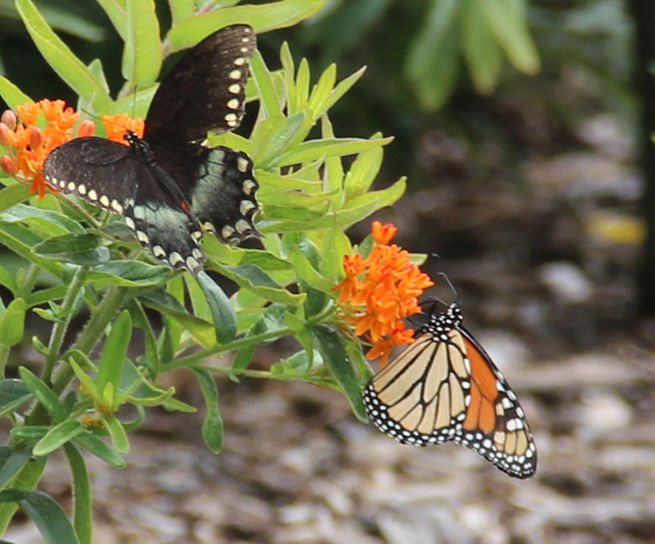 Monarch Feeding on Nectar