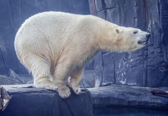 Kali, the Polar Bear at the Saint Louis Zoo