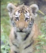 Tiger Mauls Man
