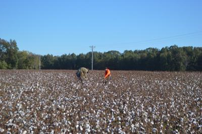 FAMILY TRADITION: Relatives hand-pick cotton at Hobbs Farms reunion