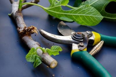 ONE GARDENER TO ANOTHER: Propagating plants through layering