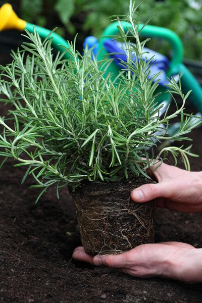 ONE GARDENER TO ANOTHER: Spice up the garden with herbs