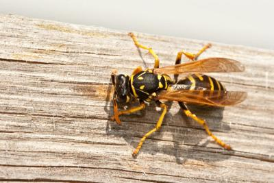 the garden spot fall brings more aggressive wasps and hornets