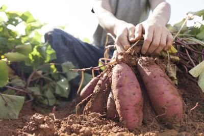 Local students join call for sweet potato as state vegetable