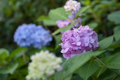 HOME & GARDEN SPOT: Hydrangeas — to prune or not to prune