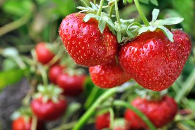 ONE GARDENER TO ANOTHER: Strawberry fields forever