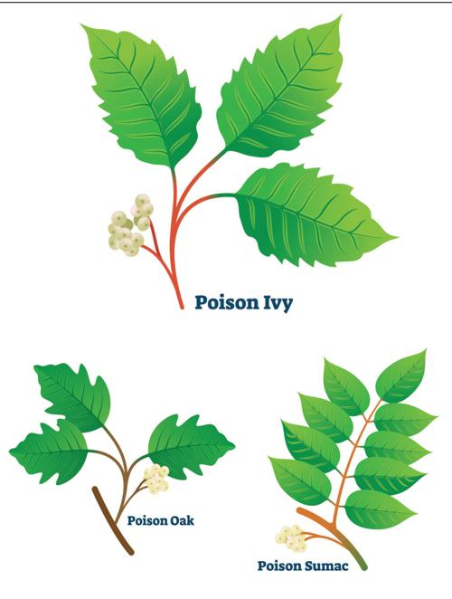 One Gardener To Another How To Identify And Treat Poison Ivy Oak