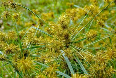 Horizontal,Image,Of,Common,Nutsedge,(cyperus,Esculentus),,A,Perennial,Weed,
