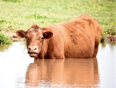RAIN OF THE HOOF: Area cattle affected by wet weather