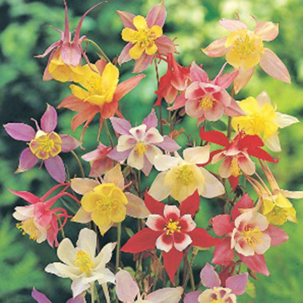 One gardener to another plant long blooming perennials for lasting columbine izmirmasajfo