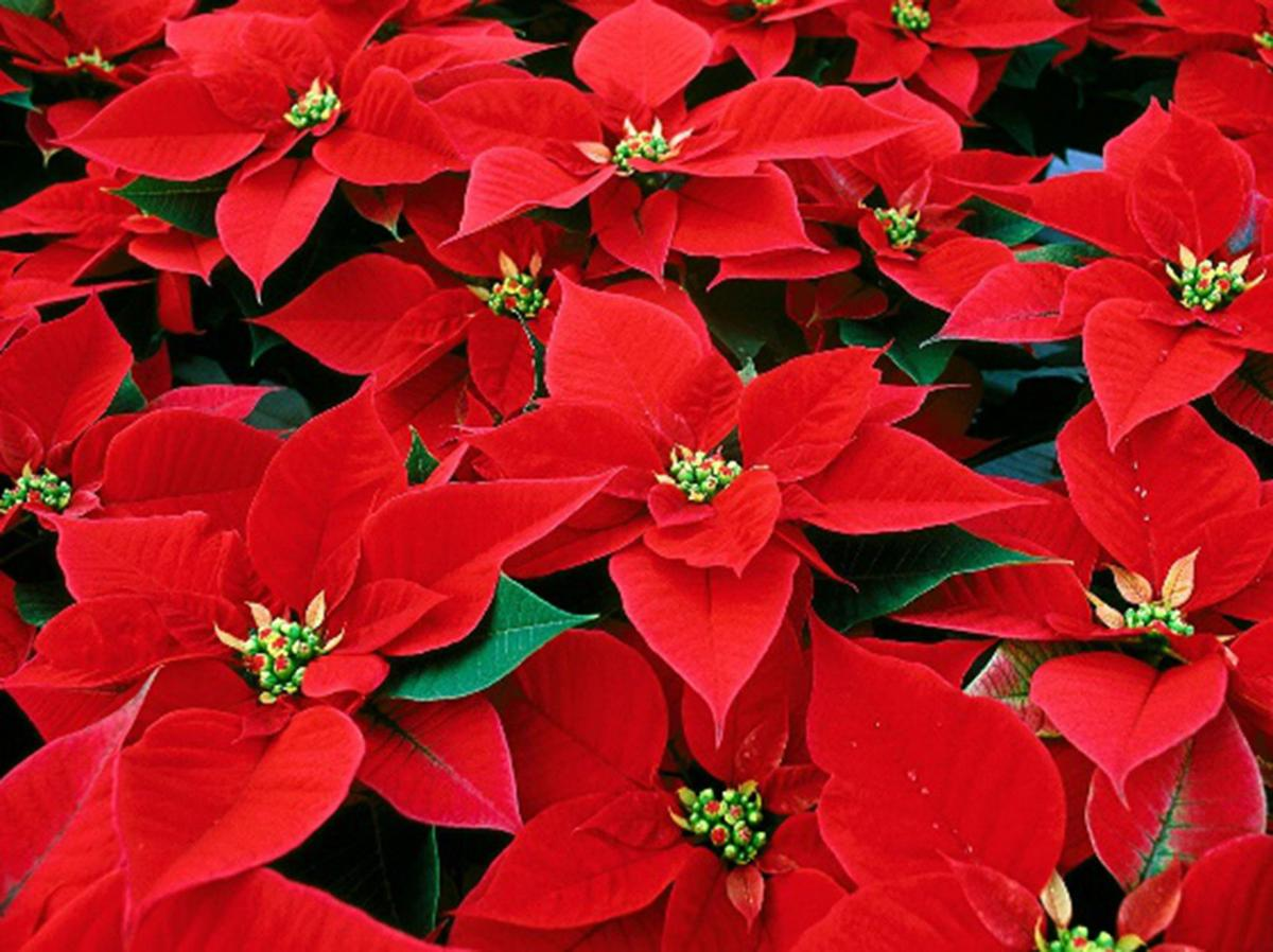 With a little care, poinsettias can be beautiful year after year ...