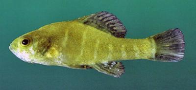 Pygmy fish