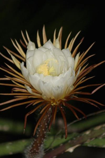 ONE GARDENER TO ANOTHER: Night-blooming Cereus – The queen of the night