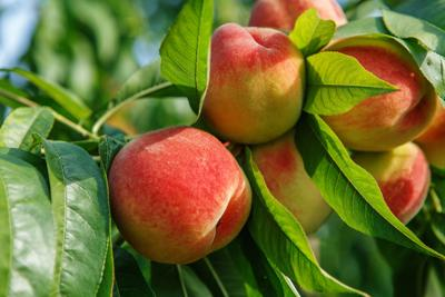 Cool and collected: County in good shape for peach chill hours