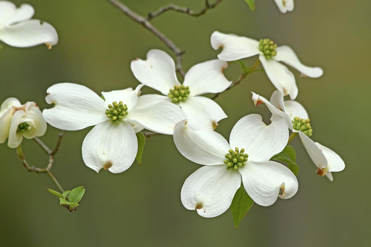 One Gardener To Another Cross Like Flowers Of The Dogwood Tree