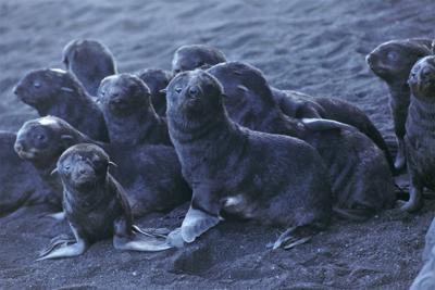 Fur Seals Volcanic Island