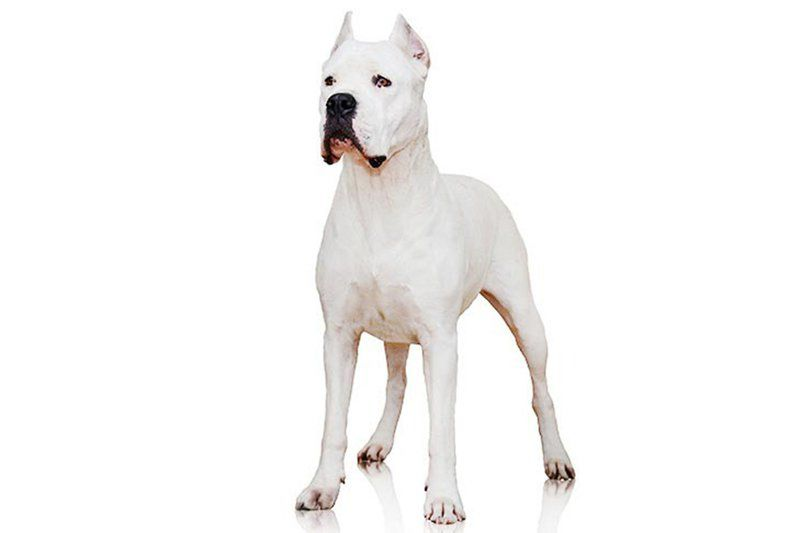 Hello, dogo: 2 new breeds get the American Kennel Club's nod
