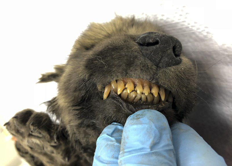 Russian scientists present ancient puppy found in permafrost