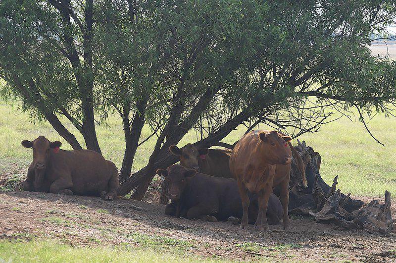 Weak hide values hurt cattle prices