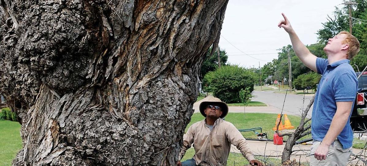 landmark 130 year old tree at brown cummings funeral home comes down