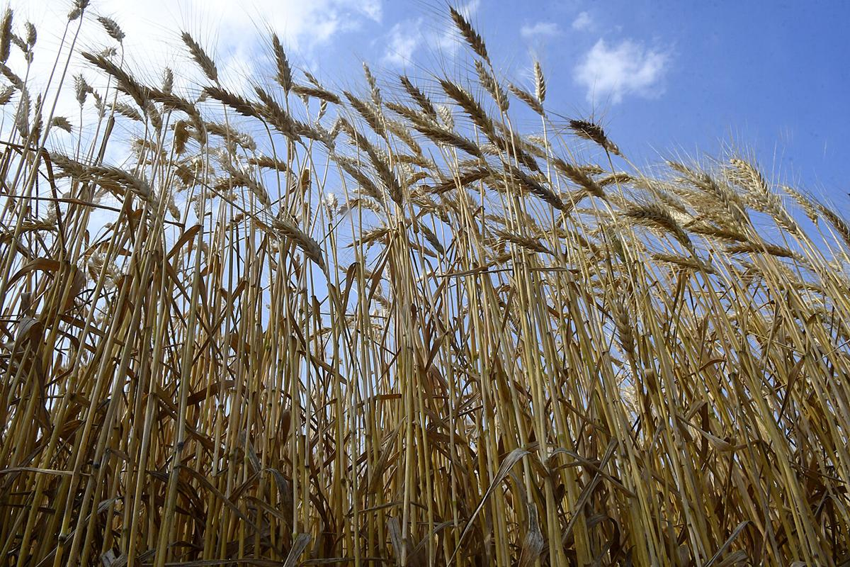 210611-news-wheat 1 BH.jpg