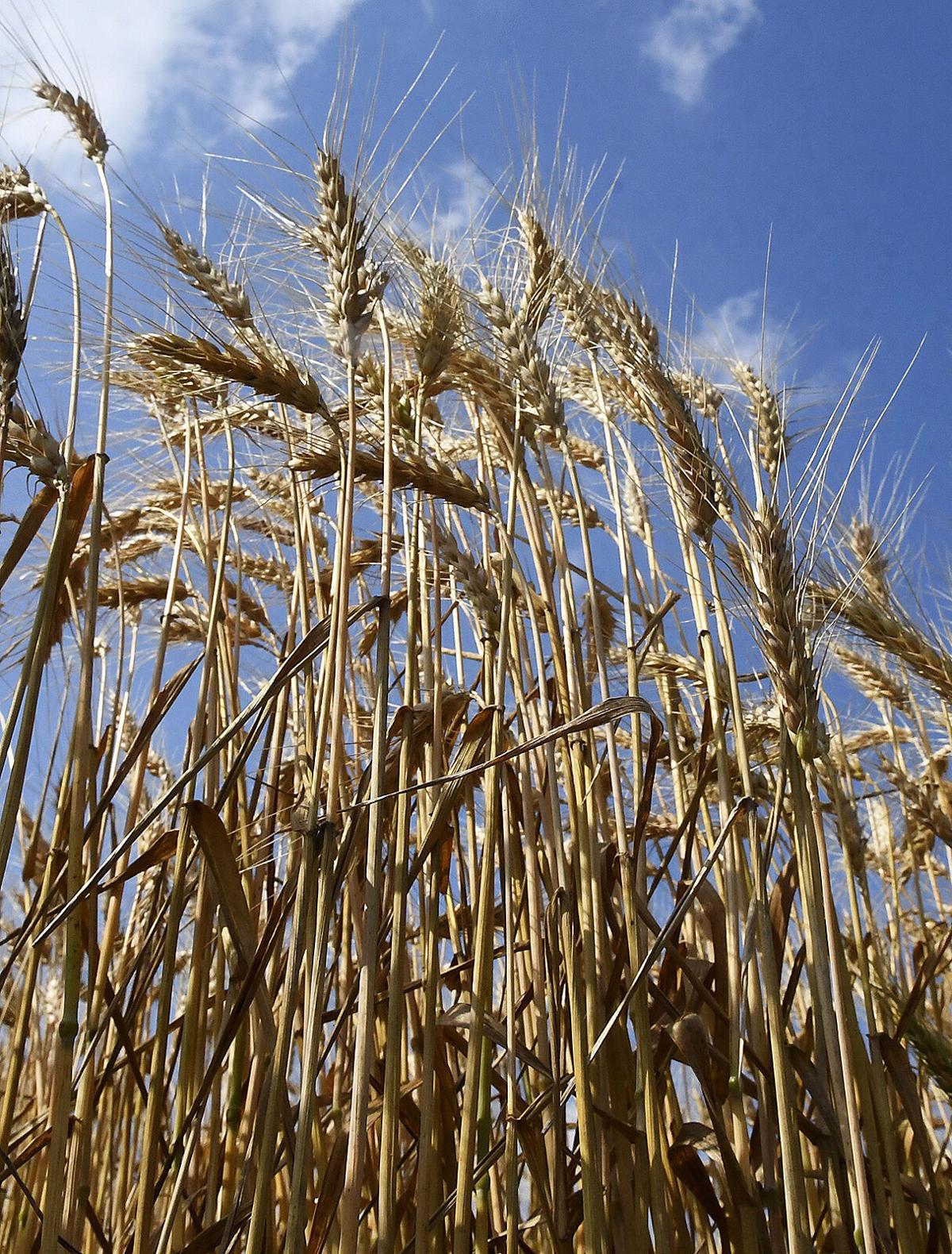 210611-news-wheat 2 BH.jpg