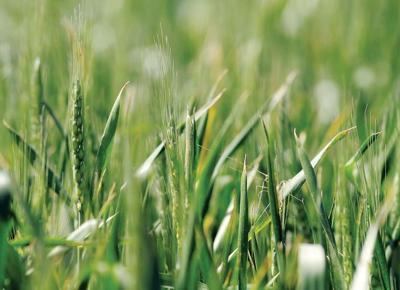 Wheat_2_BV.jpg