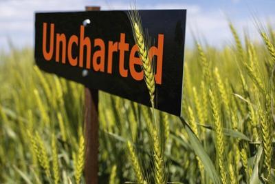 OSU releases bumper crop of wheat varieties