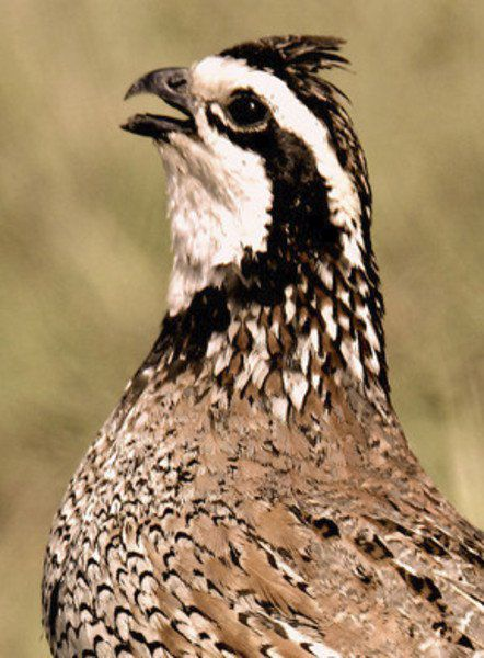 Quail numbers increase statewide over 2018, surveys show
