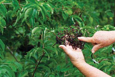 Sac River Valley elderberries