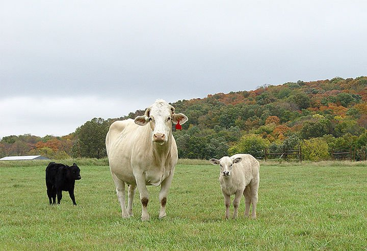Cattle & Fall Colors
