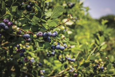 Pryor's Outback Farm takes growing quality blueberries to the next level