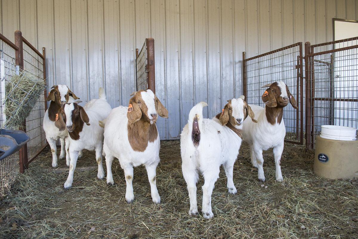 goat_0021.jpg