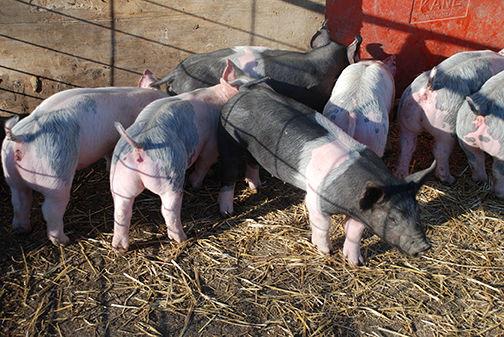 Menefee Show Pigs