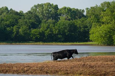 Case Family Farms Feeding Cattle by Air Boat during the aftermath of flooding in Oklahoma in 2019