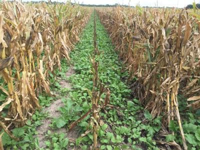 Cover Crop in Corn