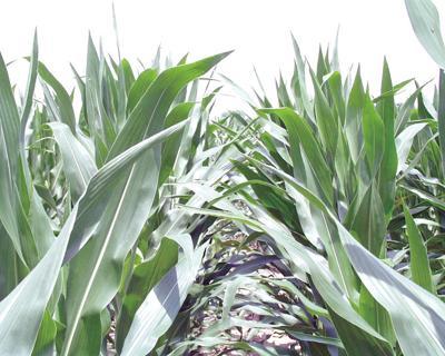 corn rows fsfs_.jpg