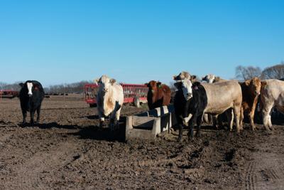 D Bar Beef cattle